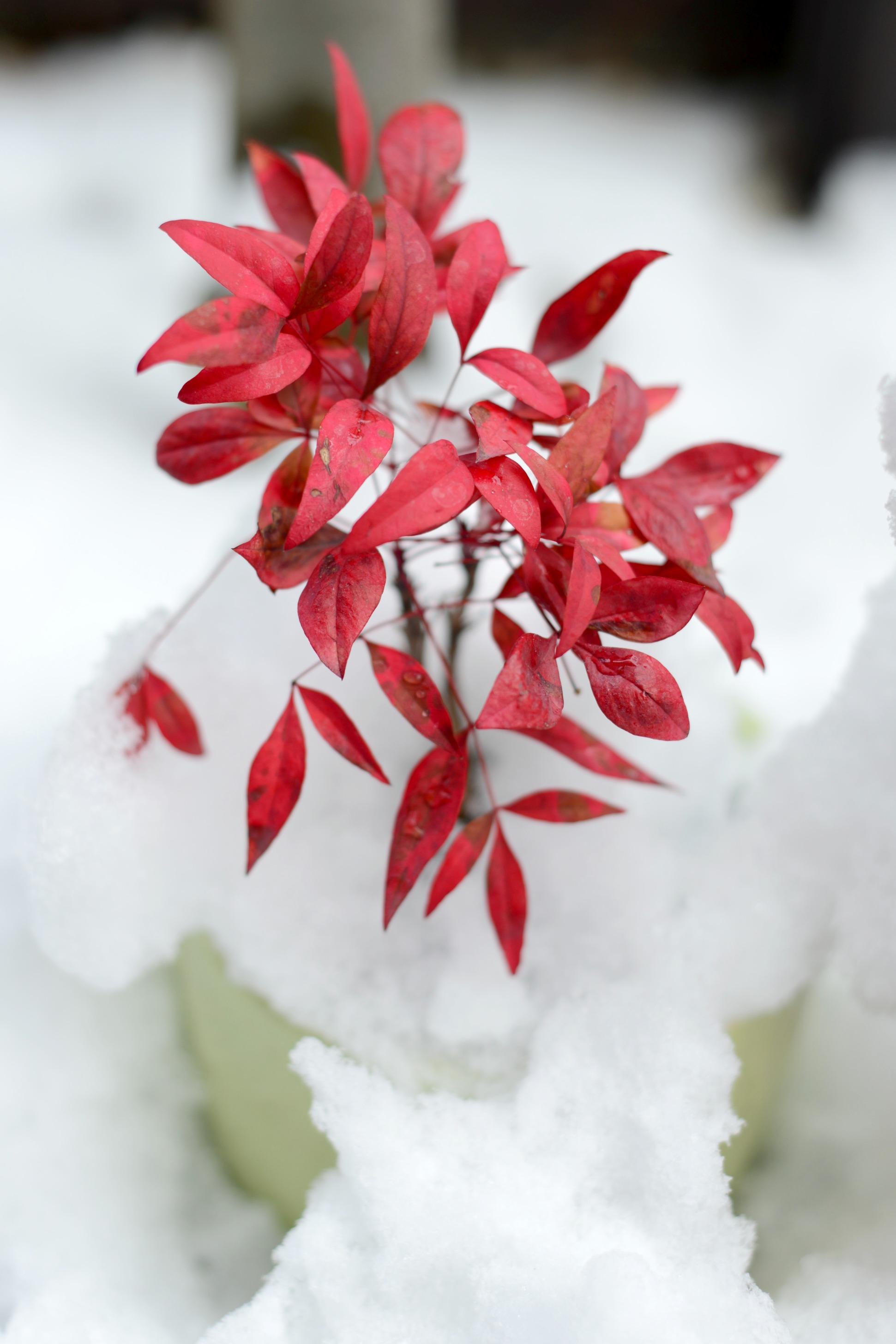 2月3日 南天と雪の写真